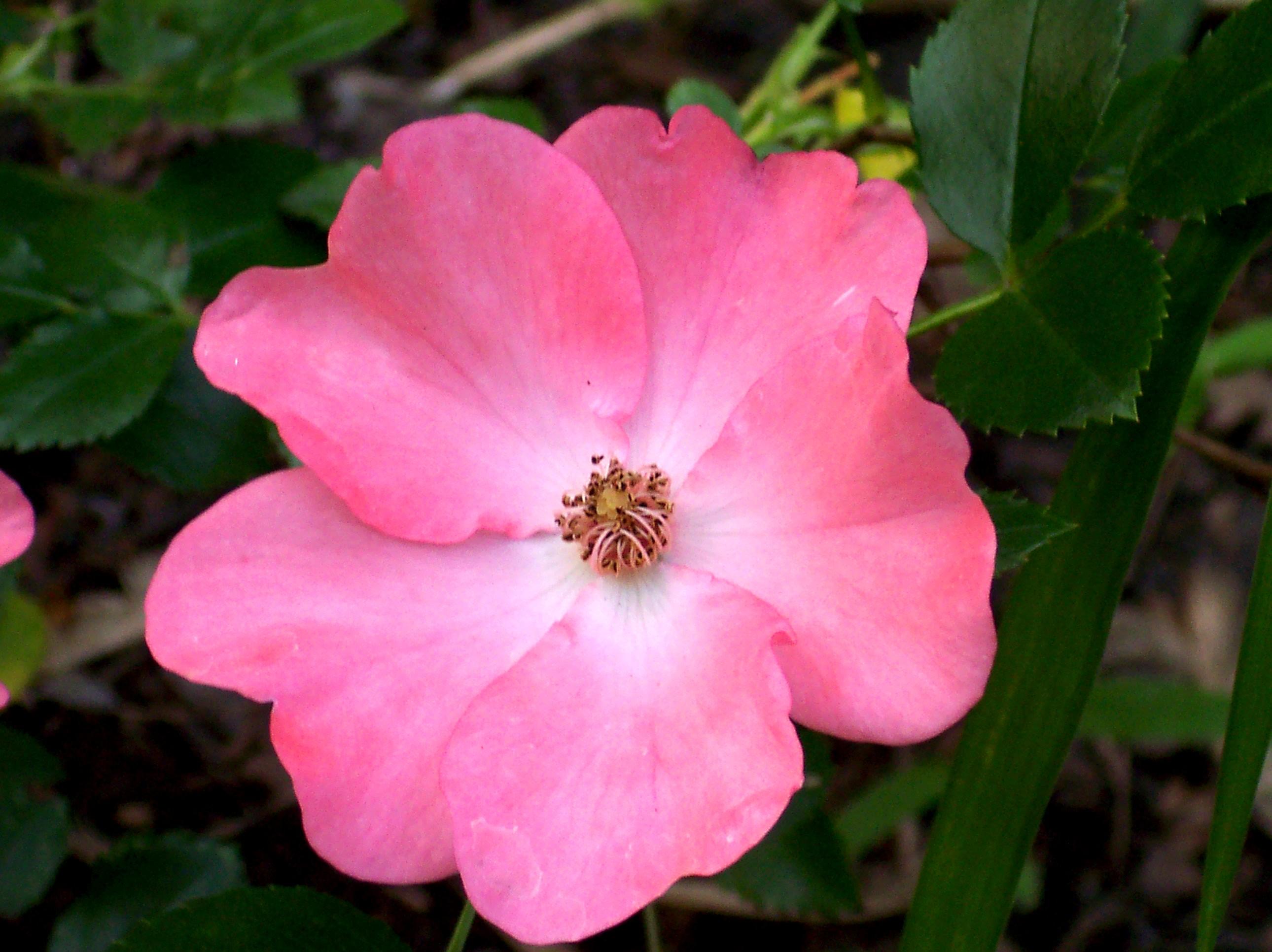 Single Pink Flower A single pink flower.