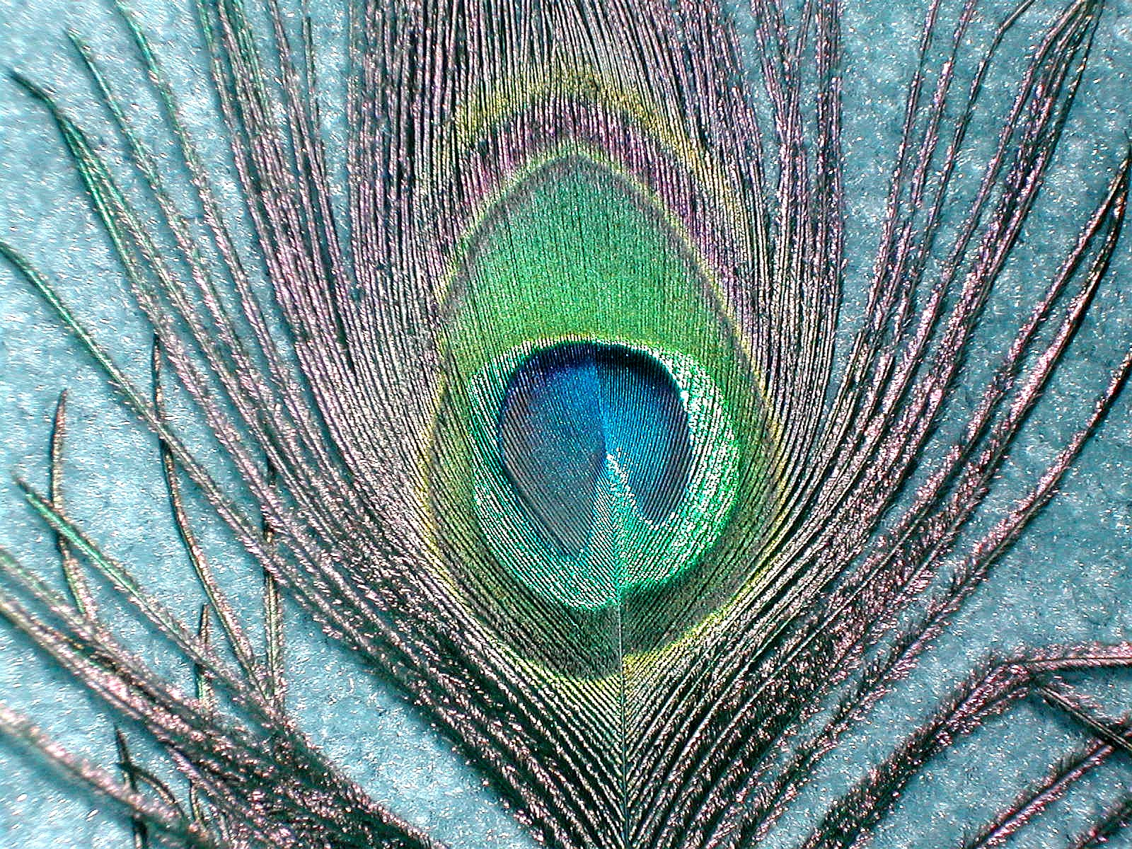 Single peacock feathers